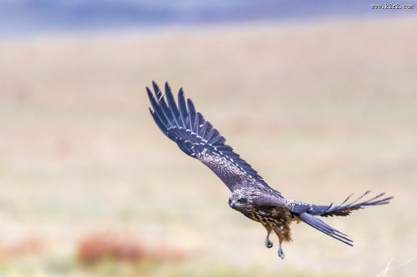 黑耳鸢鸟类图片 第5张