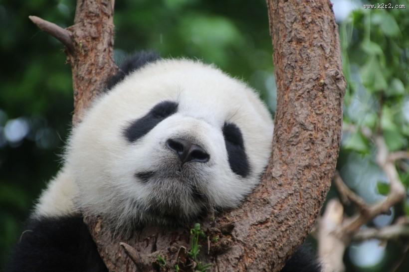 国宝大熊猫图片大全 第7张